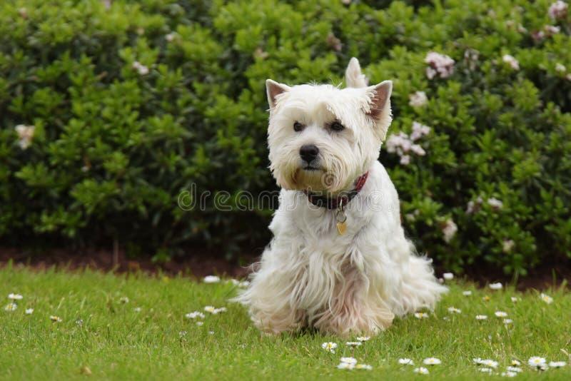 Weißer Terrier des Westhochlands stockfotos