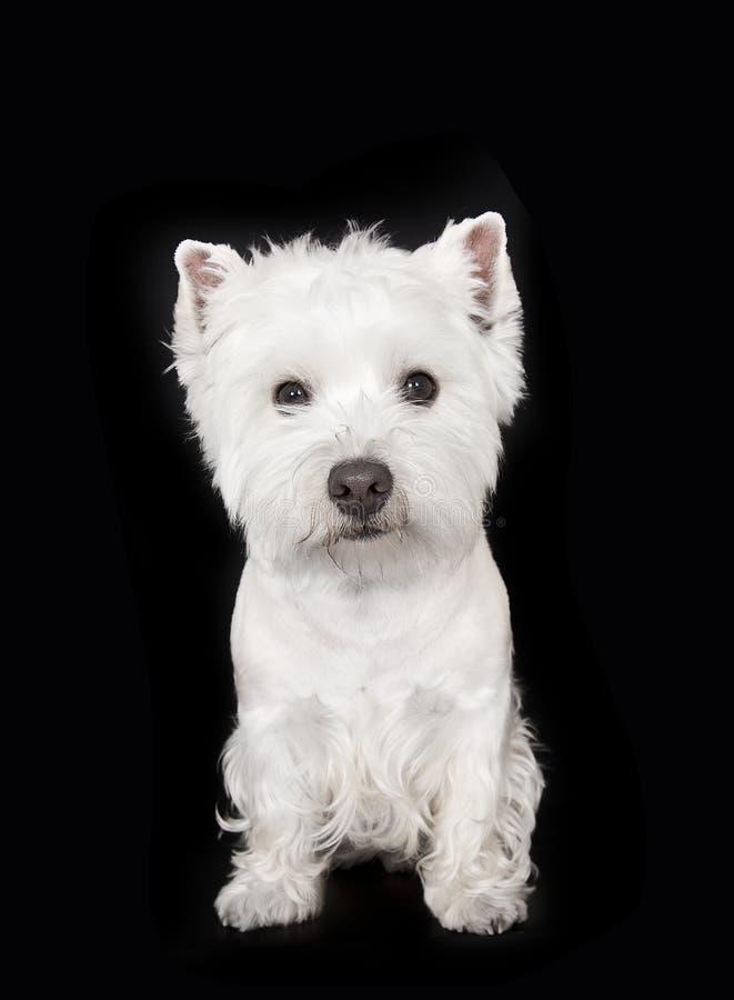 Weißer Terrier des Westhochlands lizenzfreies stockbild