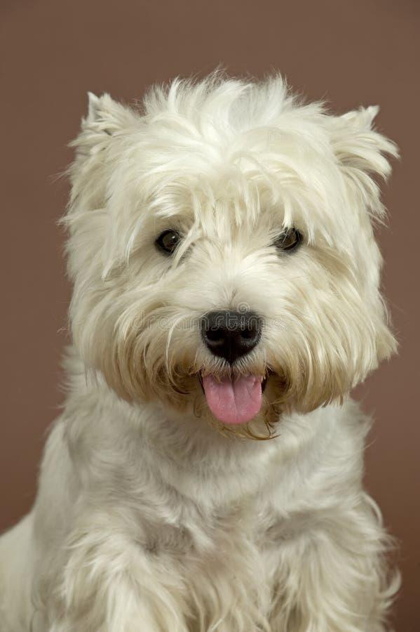 Weißer Terrier des Westhochlands, 3 Jahre alt lizenzfreie stockbilder
