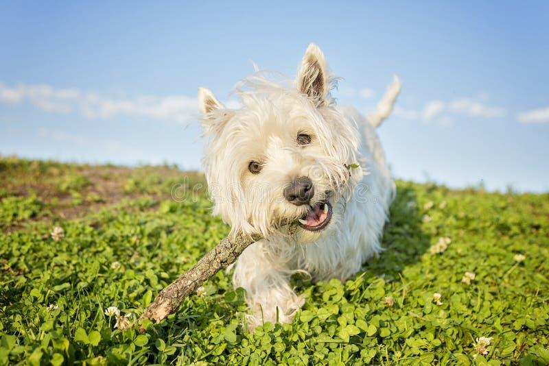 Weißer Terrier des Westhochlands ein sehr schöner Hund stockfotos