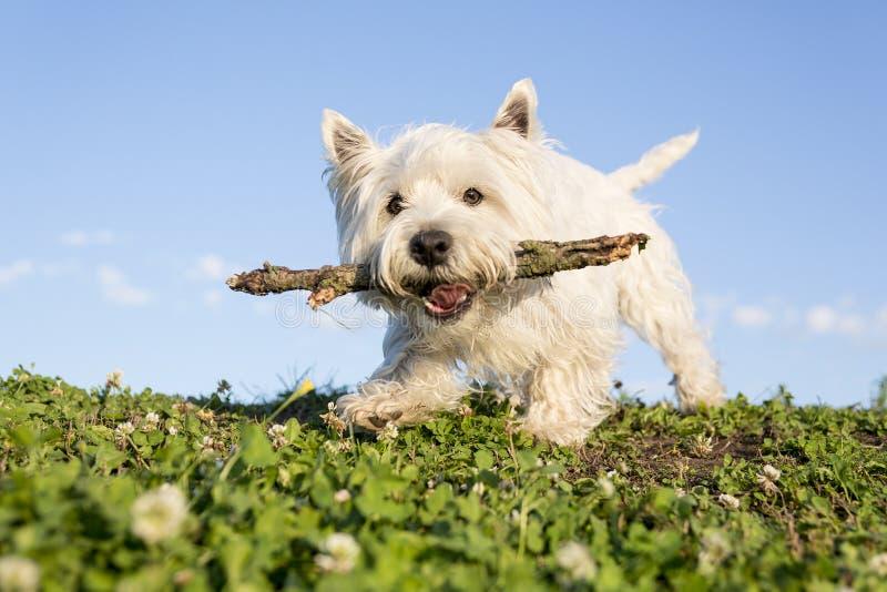 Weißer Terrier des Westhochlands ein sehr schönes lizenzfreie stockbilder