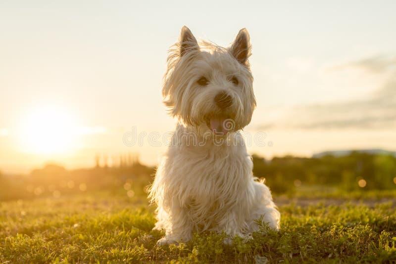 Weißer Terrier des Westhochlands ein sehr schönes stockfoto