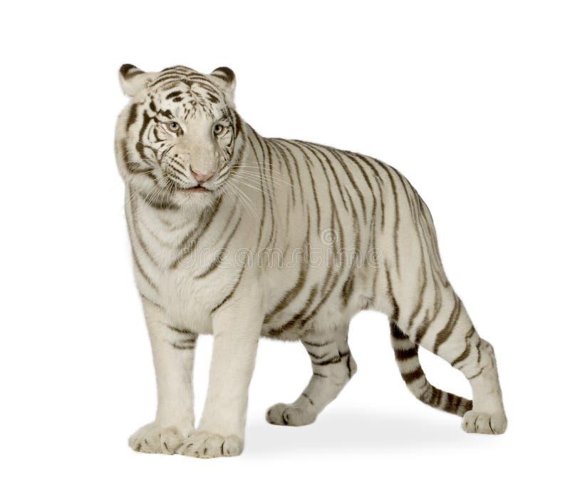Weißer Tiger (3 Jahre) stockfoto