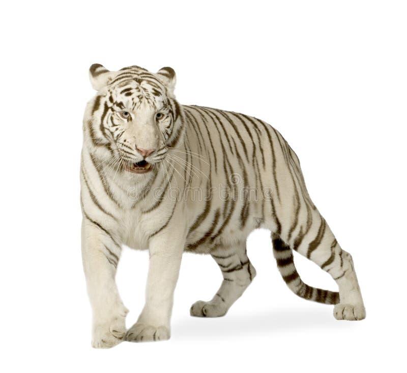 wei er tiger 3 jahre stockbild bild von frau whisker 4243457. Black Bedroom Furniture Sets. Home Design Ideas