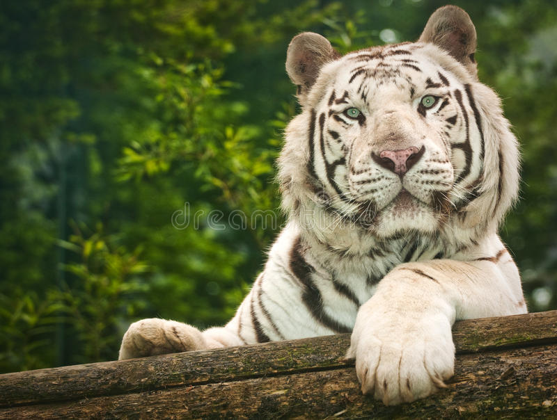Weißer Tiger lizenzfreie stockfotografie