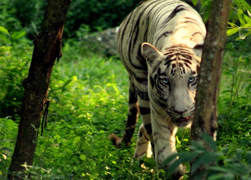 Weißer Tiger - heftiges Auge lizenzfreie stockbilder