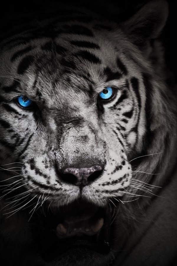 wei er tiger mit blauen augen stockbild bild von gesicht wei 91236977. Black Bedroom Furniture Sets. Home Design Ideas