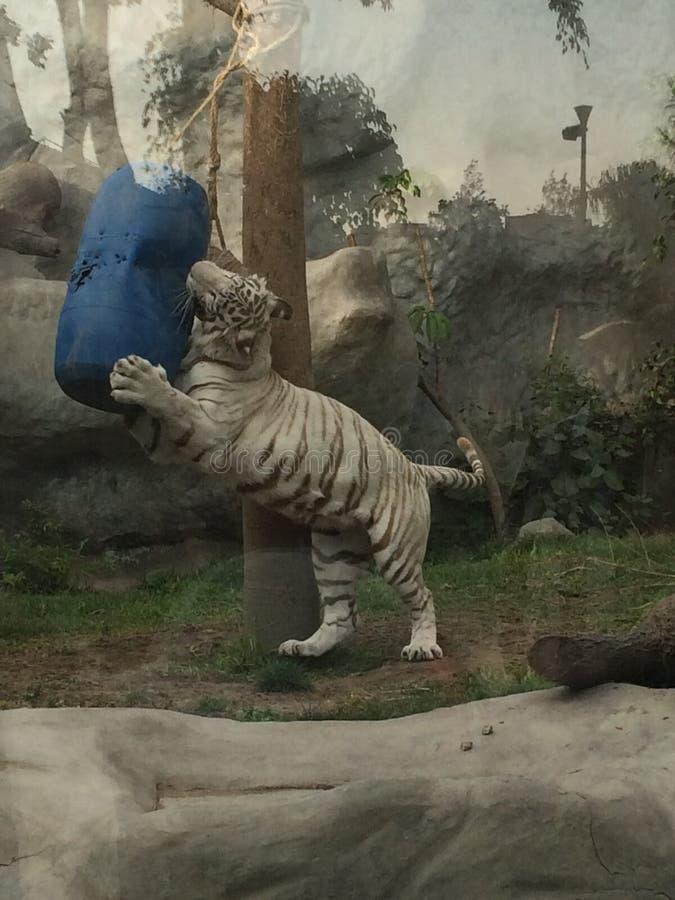 Weißer Tiger vollständig… lizenzfreie stockbilder