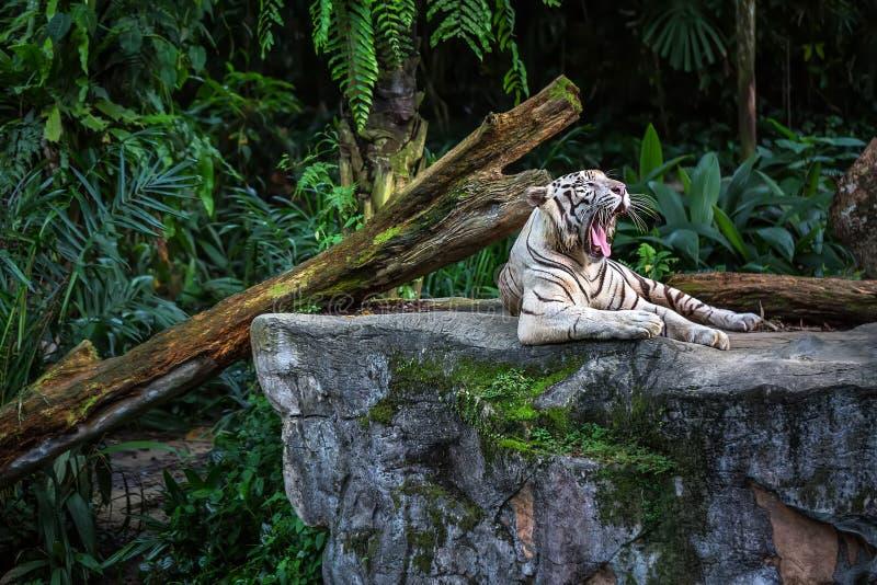 Weißer Tiger In Zoo lizenzfreies stockfoto