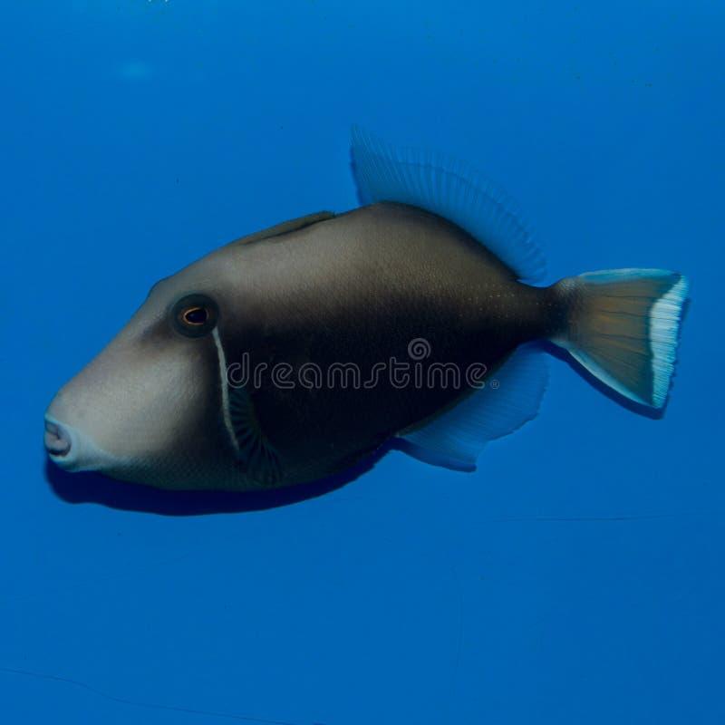 Weißer Tipp Triggerfish-Erwachsener lizenzfreie stockbilder