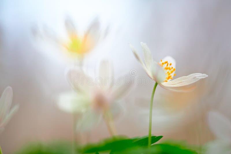 Weißer Traum der wilden Blume des Frühlinges stockbild