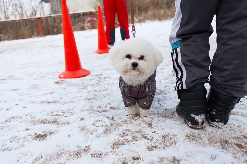 Weißer und flaumiger Hund führt ergeben Wintertraining durch lizenzfreie stockfotografie