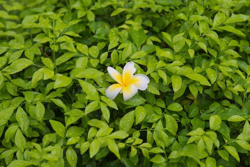Weißer und gelber Plumeria auf grünem Busch blackground lizenzfreies stockbild