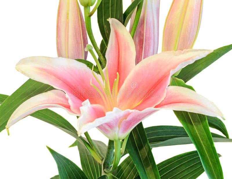 Weißer und rosa Lilium blüht, (Lilie, lillies) Blumenstrauß, Blumengesteck, Abschluss oben, lokalisierter, weißer Hintergrund lizenzfreies stockbild