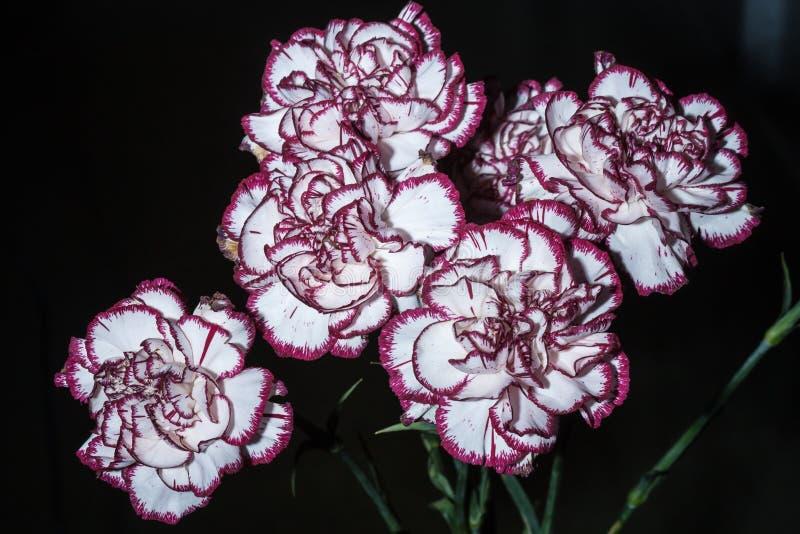 Weißer und roter Dianthus caryophyllus Blumenstrauß stockfotos