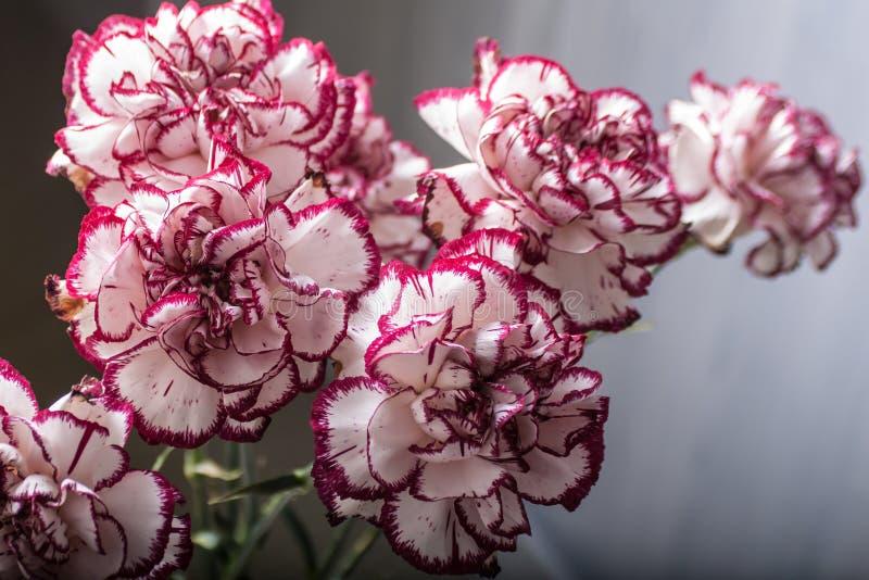 Weißer und roter Dianthus caryophyllus Blumenstrauß lizenzfreies stockfoto