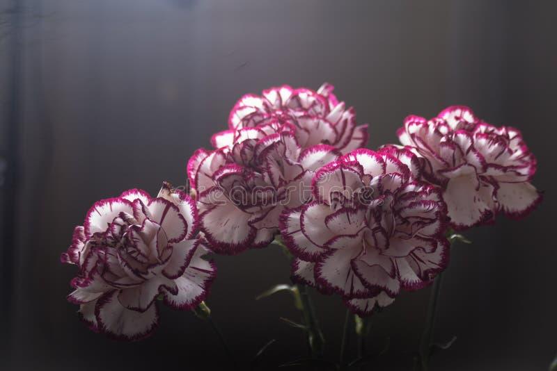 Weißer und roter Dianthus caryophyllus Blumenstrauß stockbilder
