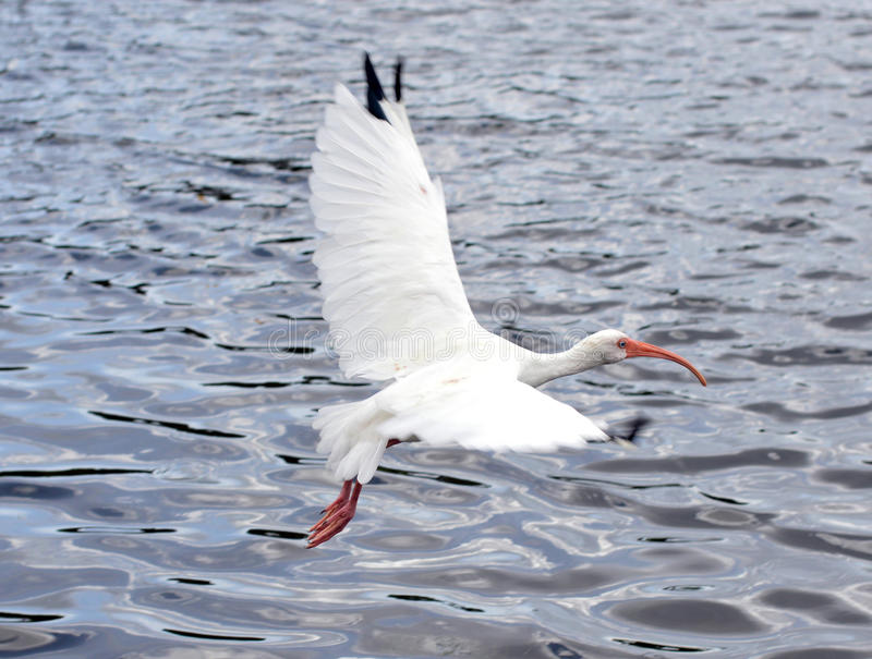 Weißer Vogel im Flug über Wasser stockfoto