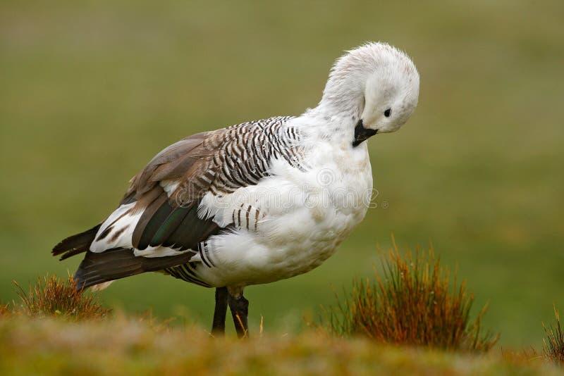 Weißer Vogel mit langem Hals Weiße Gans im Gras Weißer Vogel im grünen Gras Gans im Gras Wilde weiße Hochlandgans, C stockbilder