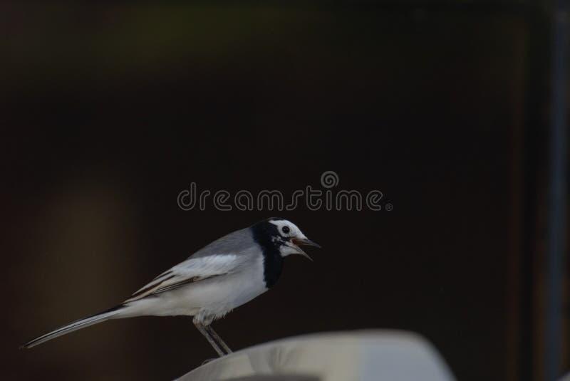 Weißer Wagtail lizenzfreie stockbilder