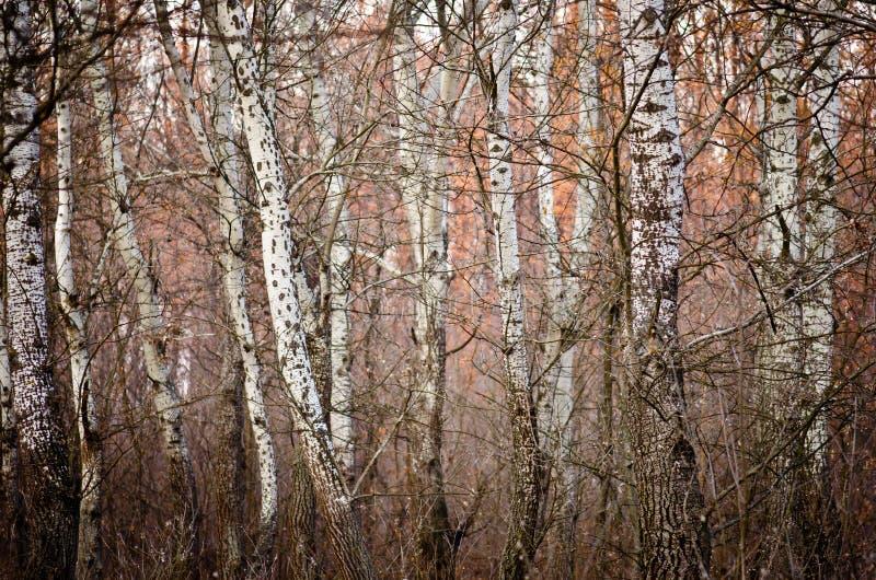 Weißer Wald stockbild