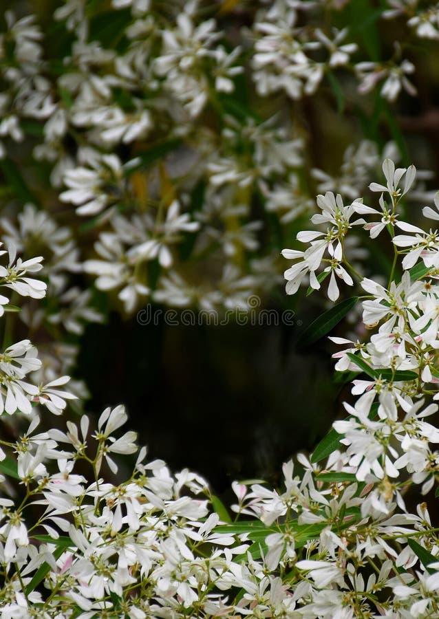 weißer Weihnachtsbaum der Nahaufnahmeblume im Garten lizenzfreie stockbilder