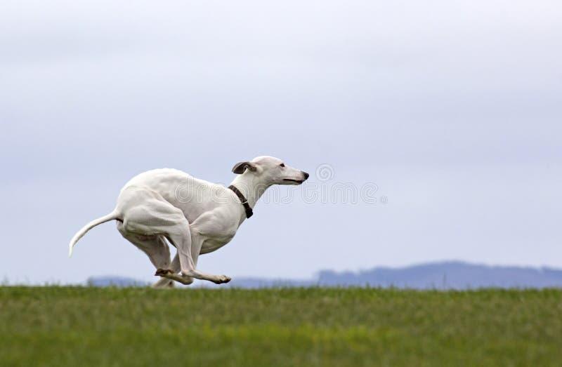 Weißer Whippet-Hund, der auf Gras läuft stockfotografie
