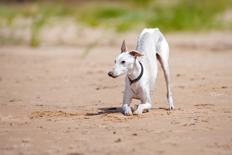 Weißer Whippethund beugt unten stockbilder