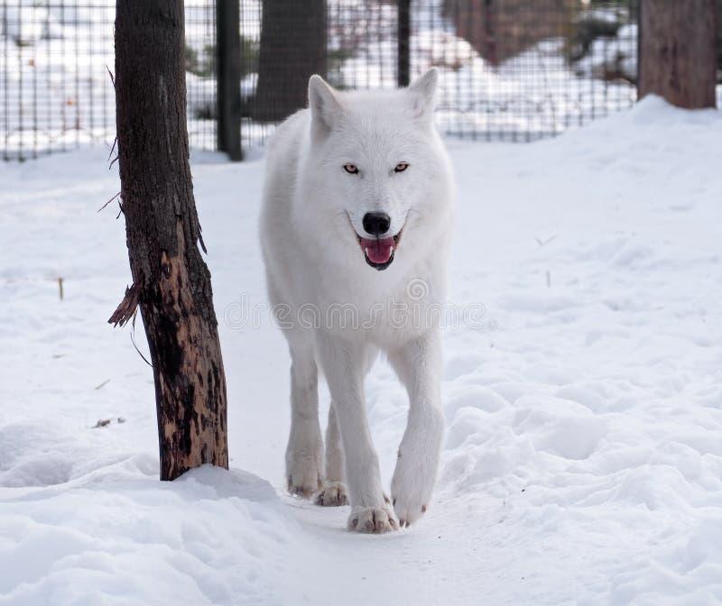 Weißer Wolf, der am Schnee betrachtet die Kamera geht stockfotografie