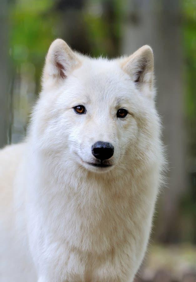 Weißer Wolf im Wald stockbild
