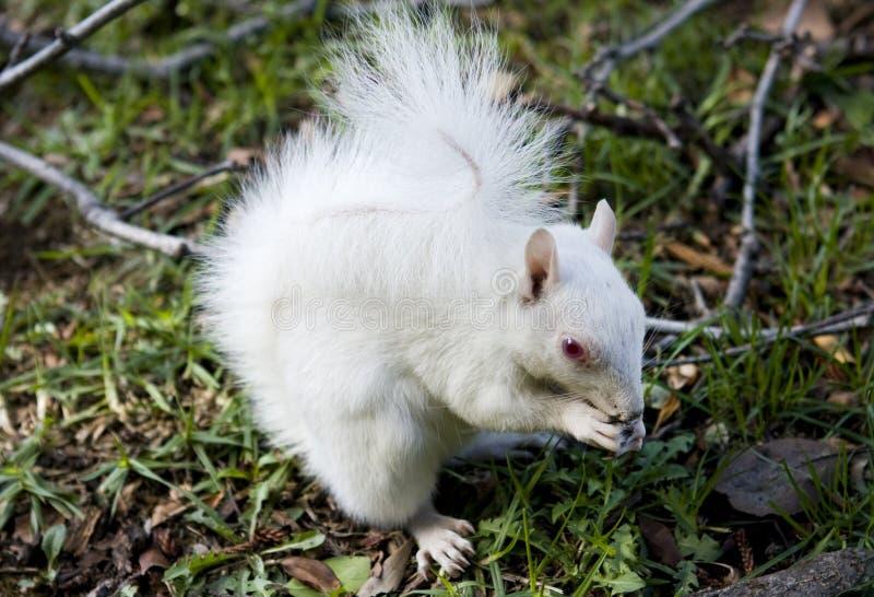 Weißes Albinoeichhörnchen lizenzfreie stockfotos
