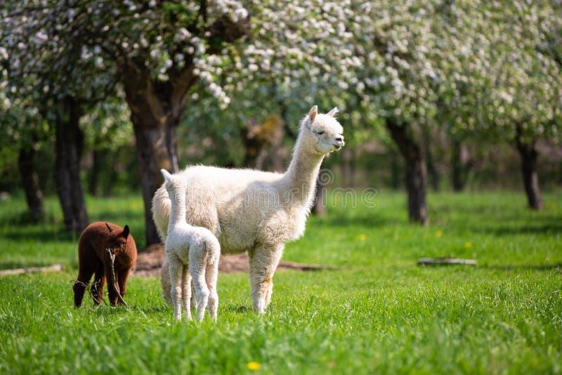 Weißes Alpaka mit Nachkommenschaft stockbild
