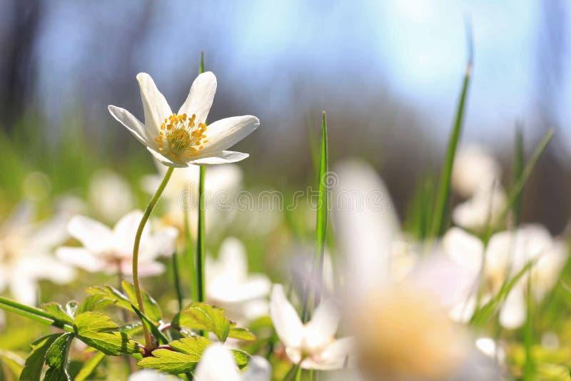 Weißes Anemone nemorosa, Frühlingsblume lizenzfreie stockfotografie