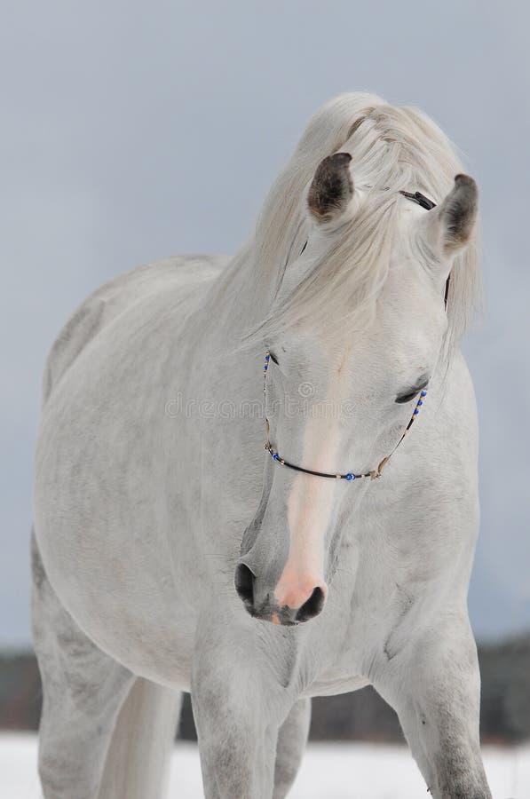 Weißes arabisches Pferd lizenzfreies stockfoto