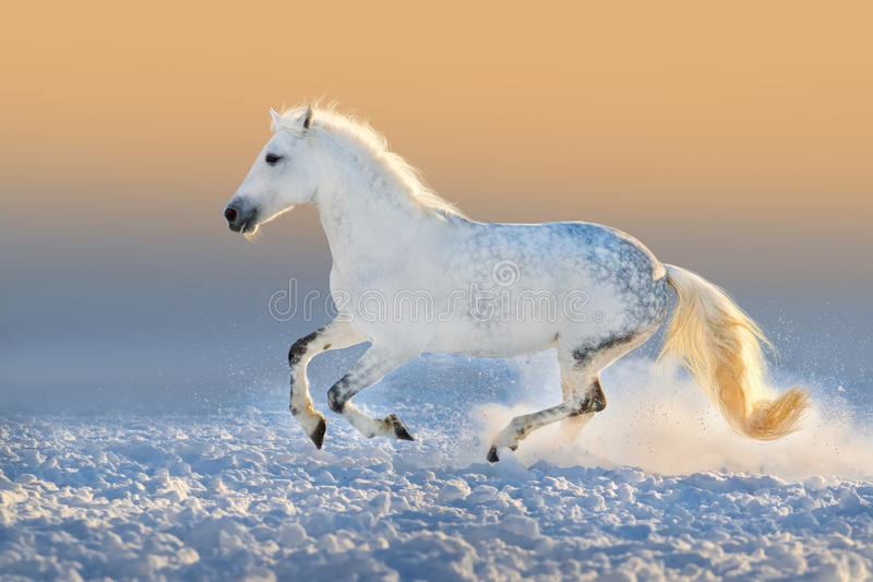 Weißes arabisches Pferd stockfotografie