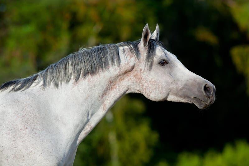 Weißes arabisches Pferd auf dem Gebiet lizenzfreie stockbilder