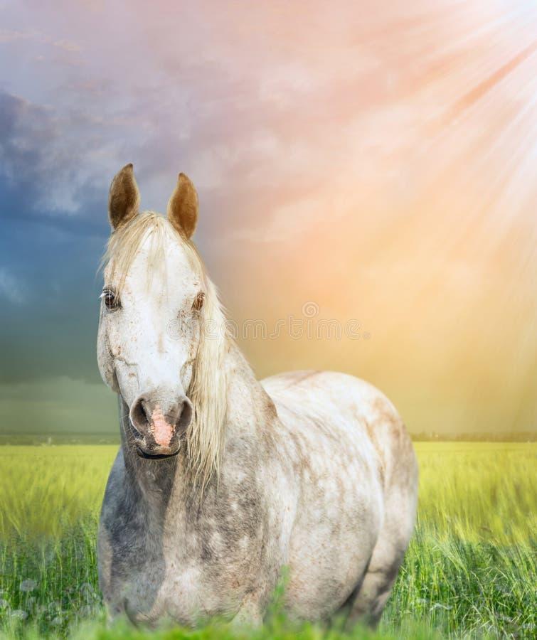 Weißes arabisches Pferd auf Weide bei Sonnenuntergang stockfotografie