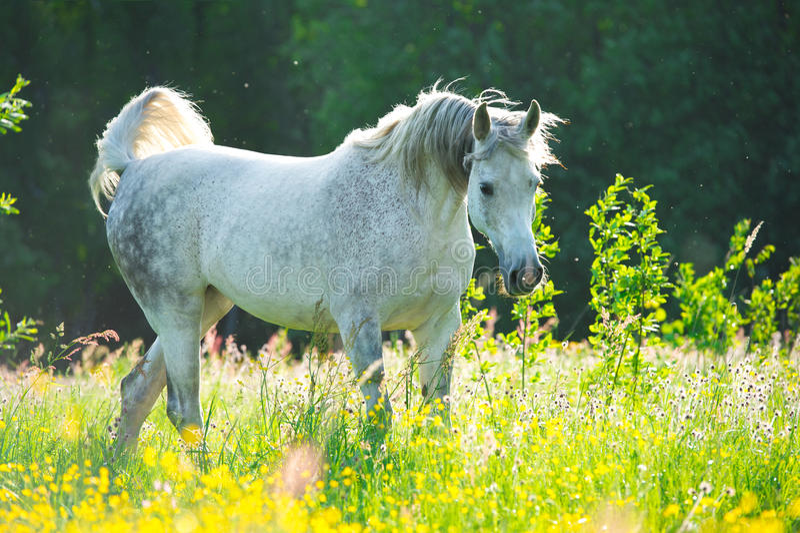 Weißes arabisches Pferd im Sonnenunterganglicht lizenzfreies stockfoto