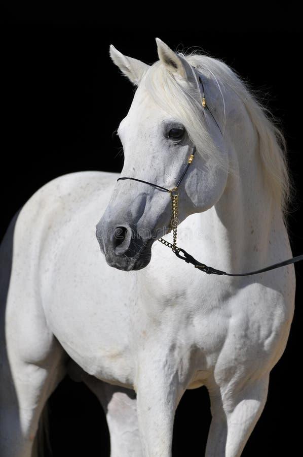Weißes arabisches Pferd Stallionportrait lizenzfreie stockfotos