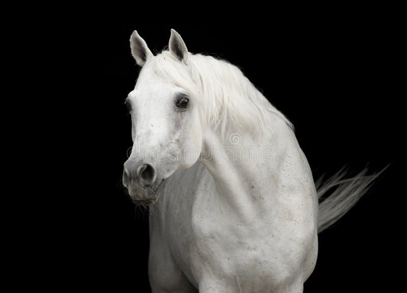 Weißes arabisches Pferd Stallionportrait auf Schwarzem lizenzfreie stockbilder