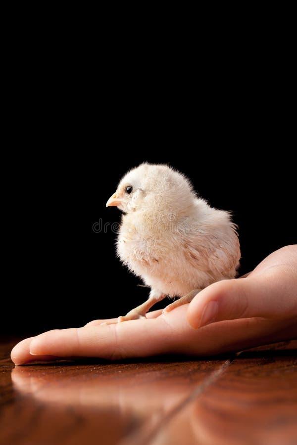 Weißes Babyküken auf einer Hand stockfotos