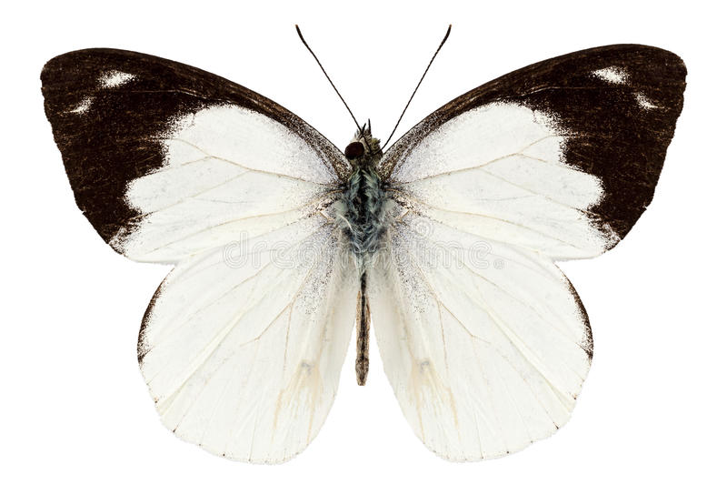 Download Weißes Basisrecheneinheitssorte Apias INDRA-INDRA Stockbild - Bild von insekt, malaysia: 27725561