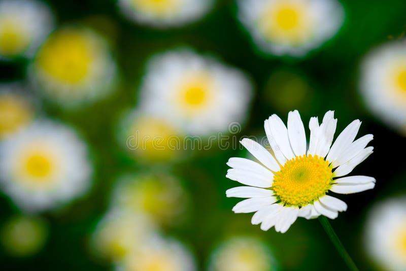 Weißes blühendes Makrogänseblümchen stockfoto