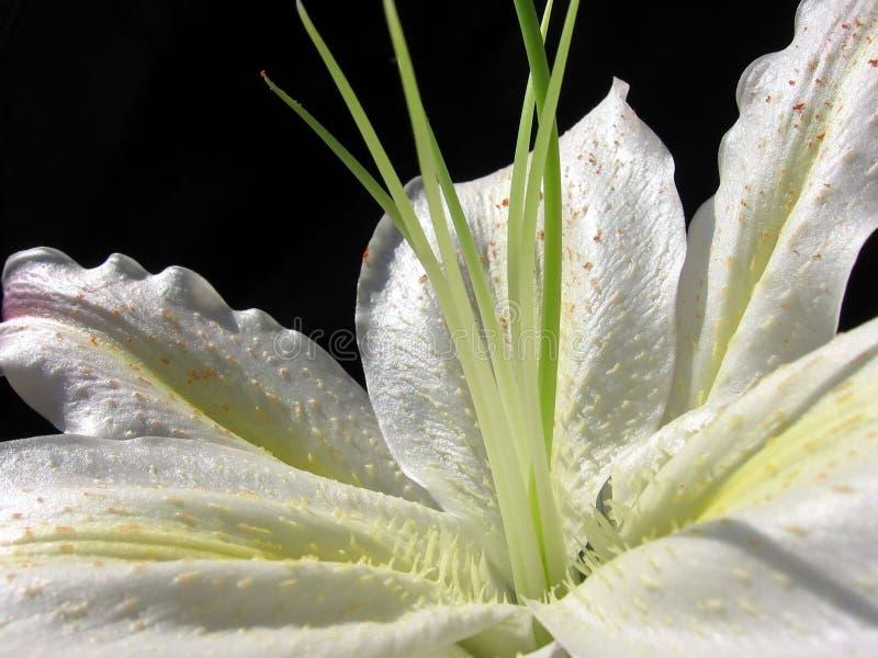 Weißes Blumenblatt lizenzfreie stockfotografie