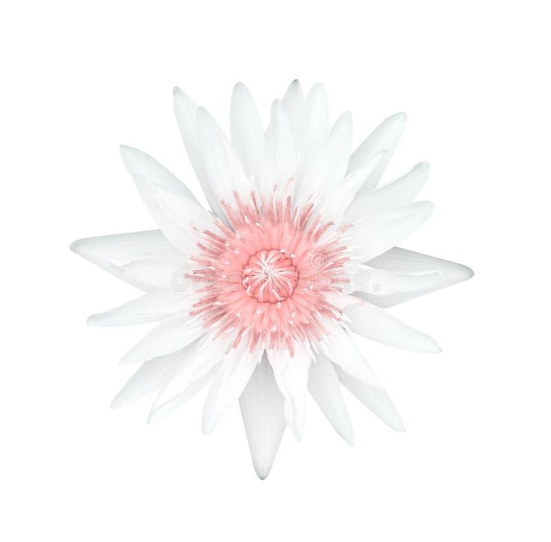 Weißes Blumenblatt der einzelnen Lilienlotosknospen-Blumen mit blühender Draufsicht des weichen rosa Blütenstaubs lokalisiert auf stockfoto