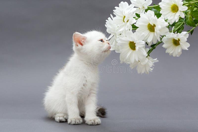 Weißes britisches Kätzchen und Gänseblümchen lizenzfreies stockbild