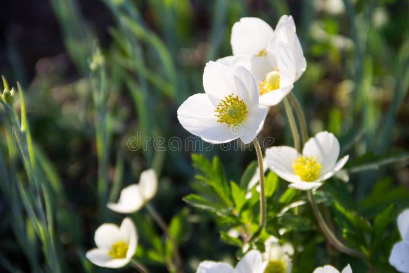 Weißes Buschwindröschenblumen Anemone nemorosa stockfotografie