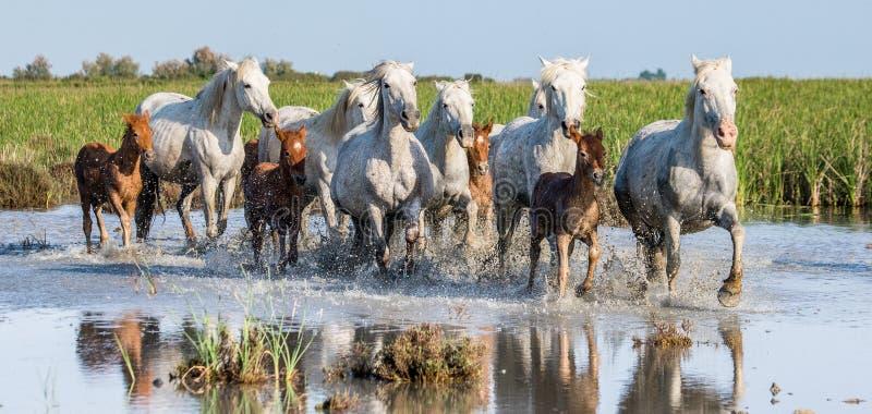 Weißes Camargue-Pferd mit Fohlen laufen in das SumpfNaturreservat Parc Regional de Camargue frankreich Provence lizenzfreie stockfotografie
