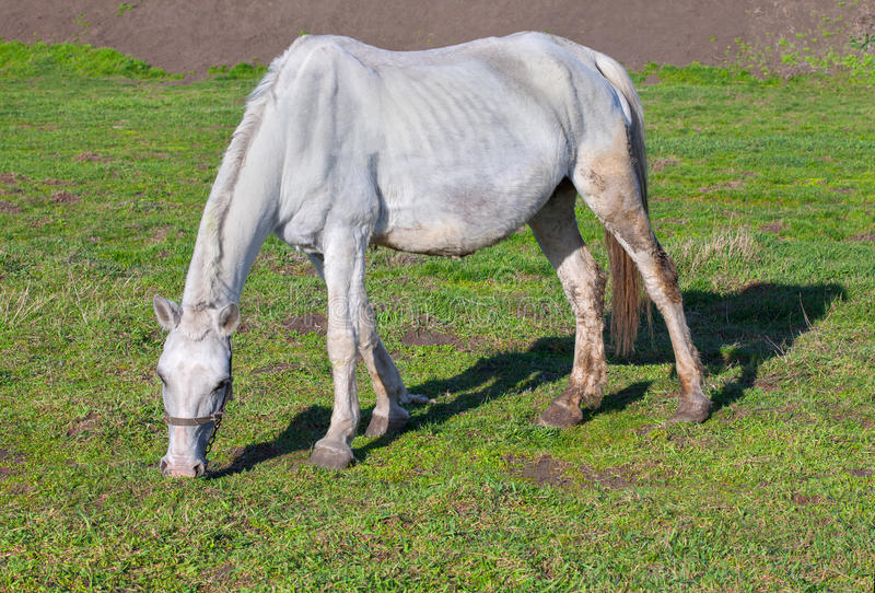 Weißes dünnes Pferd lizenzfreie stockbilder