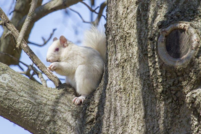Weißes Eichhörnchen-Chomping Nuss auf Glied des großen Baums lizenzfreies stockfoto